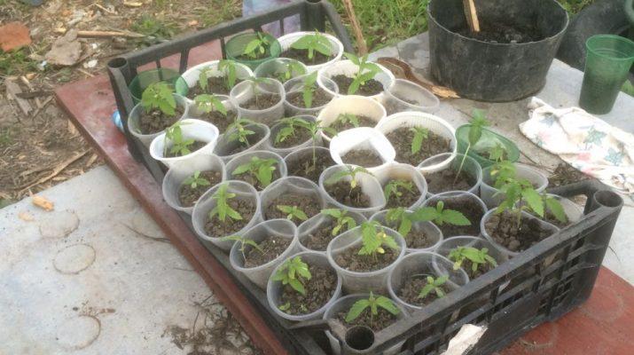 Житель Пятигорска выращивал на даче коноплю